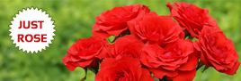 send-red-roses-jaipur